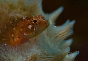Ringed Blenny Starksia hassi at Carib Inn House reef Bona... by John Roach 